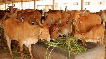 गाय को राष्ट्रमाता का दर्जा देने वाला पहला राज्य बना उत्तराखंड